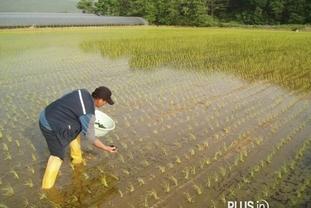 광주시, 벼 친환경 농법 왕우렁이 보급